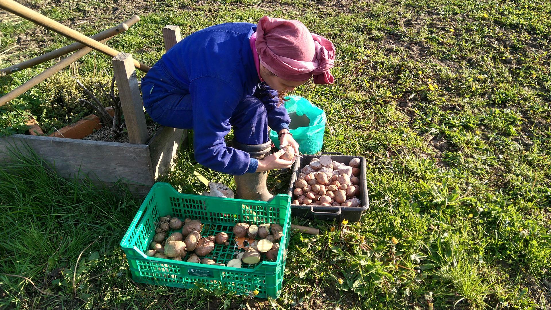 sembrado-patatas